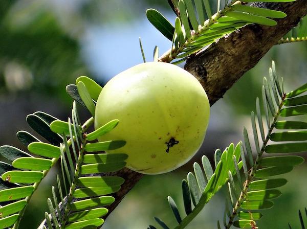 indian-gooseberry amla