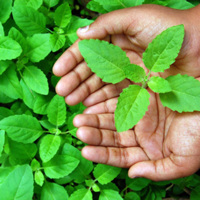 Tulsi Leaves plant Indian herbs